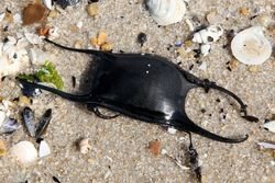 Skate egg case, North Beach, New Jersey