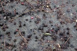 Mulberries below, Manhattanville, Manhattan