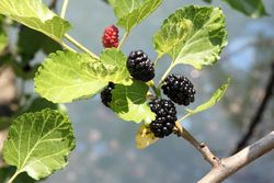 Mulberries, Gowanus, Brooklyn