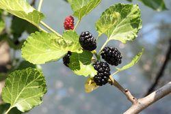 Mulberries, Gowanus, Brooklyn