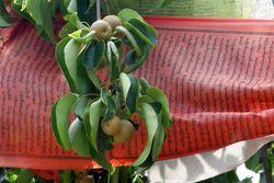 Asian pears, Dorje Ling Buddhist Center, Vinegar Hill, Brooklyn