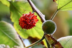 Paper mulberry fruit, Prospect Heights, Brooklyn