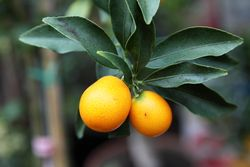 Meiwa kumquats, Noble Planta, West 28th St, Manhattan