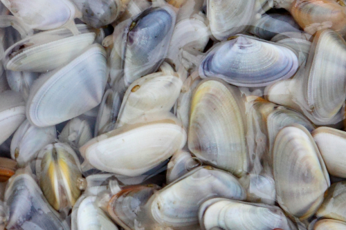 Clams (probably Donax fossor)  Flushing  Queens