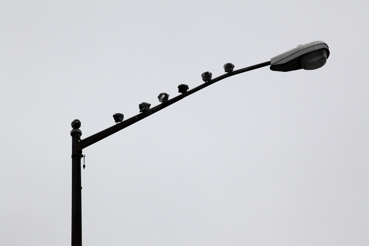 Pigeons on lamppost arm (rear view), Willets Point, Queens