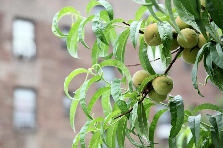 Unripe peaches  Woodside  Queens