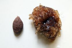 Poontalai seeds, one dry, one soaked, from Phnom Penh-Nha Trang Market, Fordham, Bronx