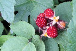 Wineberries, Highbridge Park, Washington Heights, Manhattan