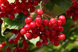 Highbush cranberries, Conference House Park, Tottenville, Staten Island