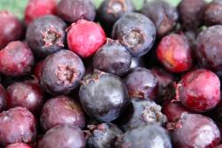 Saskatoons (serviceberries, juneberries), Nichols Farm & Orchard, Lincoln Park Green City Orchard, Chicago