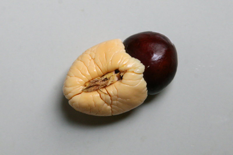 Ackee aril and seed  showing pith  from a vendor in Williamsbridge  Bronx
