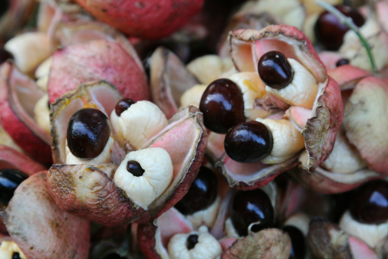 Ackee fruit  Williamsbridge  Bronx