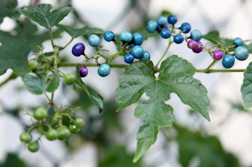 Porcelain berry (aka porcelain vine)  Flushing  Queens