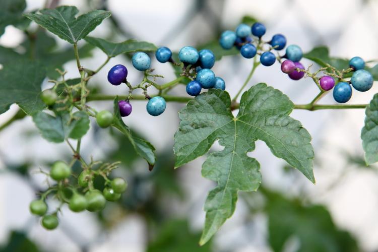 Porcelain berry (aka porcelain vine)  Flushing  Queens
