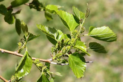 Immature mulberries  Riverside Park  Manhattan