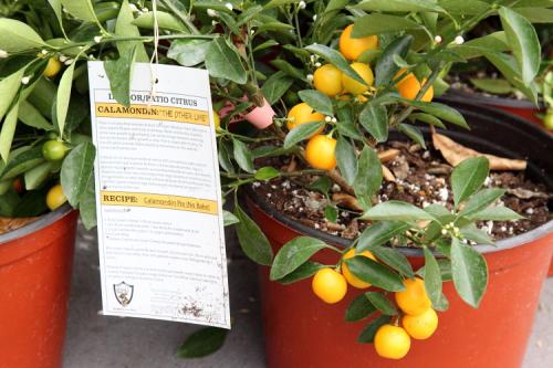 Potted calamondin (calamansi) plants  Casa Victoria  Jersey City