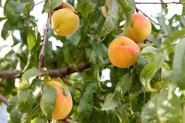 Peaches  Ho-Ho-Kus  New Jersey